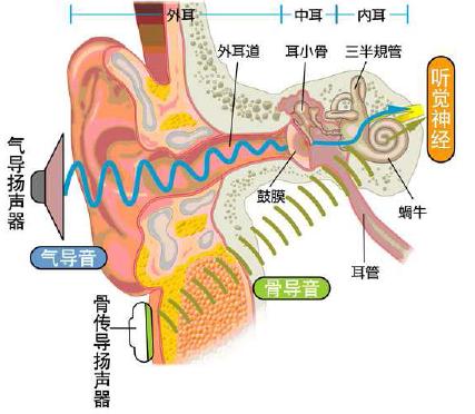耳朵的构造